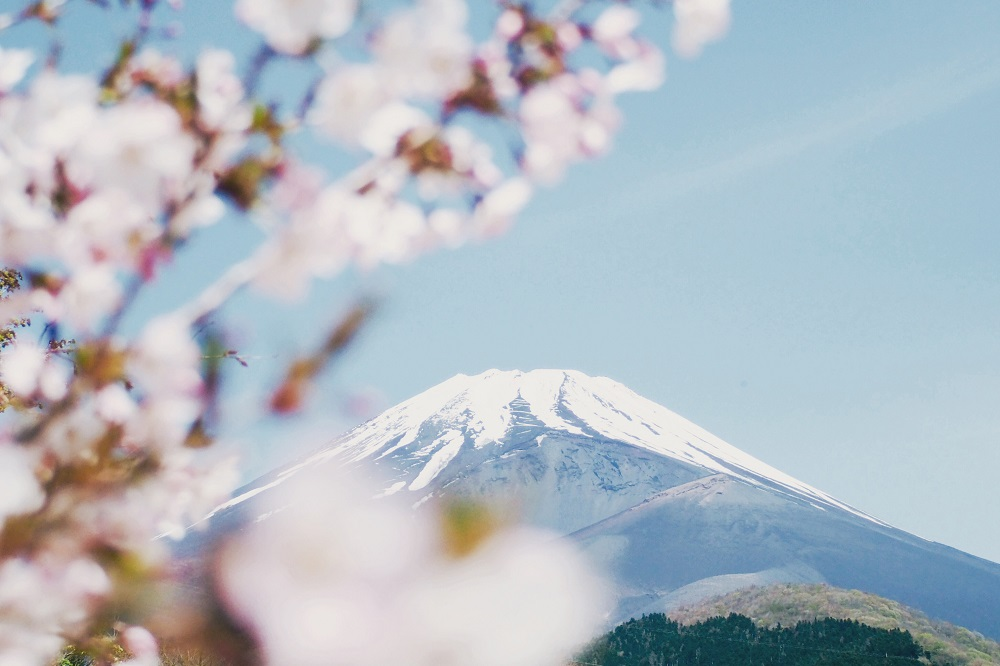 Catat, Ini Tanggal Sakura Bermekaran di Jepang pada 2019