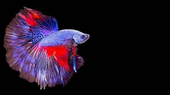 Budidaya Di Indonesia Ikan Cupang Spesies Baru Diklaim Malaysia