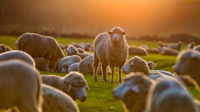 Setelah Manusia Babi, Ilmuwan Ciptakan Manusia Domba