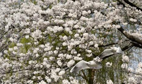 6 Tujuan Wisata untuk Menikmati Keindahan Bunga Sakura