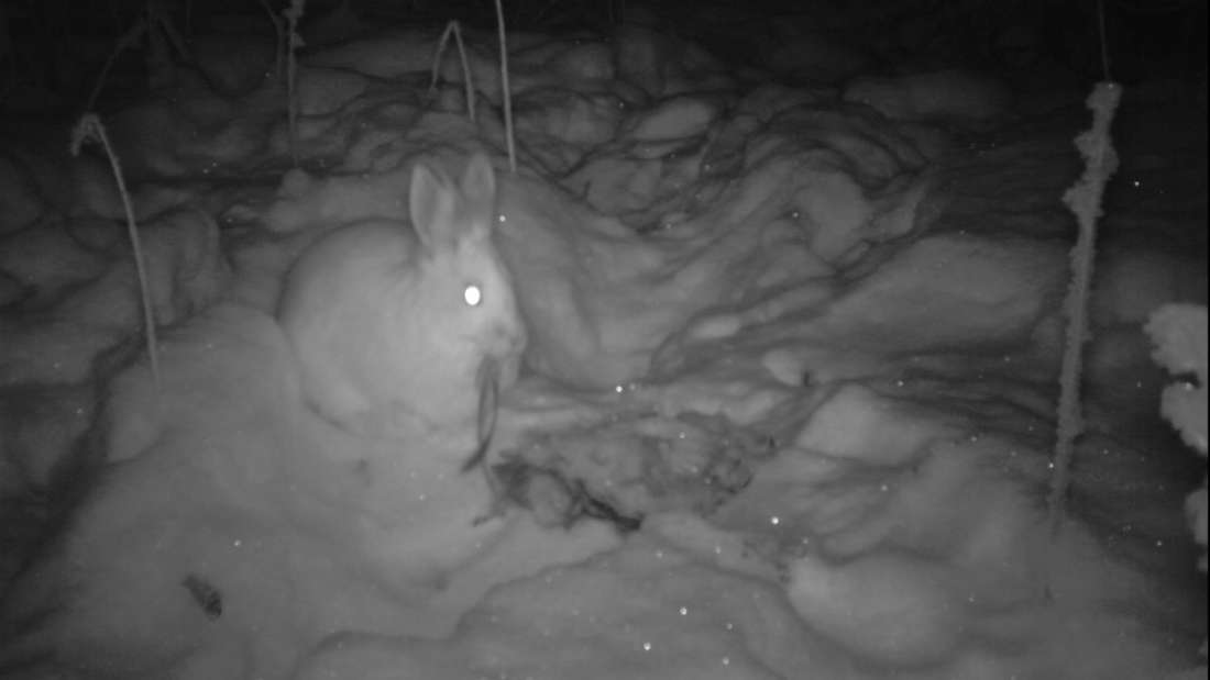 Kelinci Lucu Tertangkap Kamera Sedang Makan Bangkai Kelinci Lain