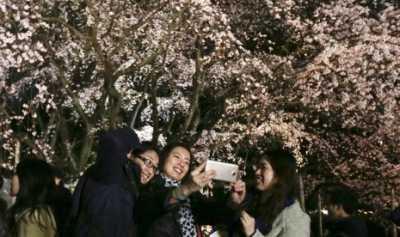 Bunga Sakura Bisa Deteksi Perubahan Iklim